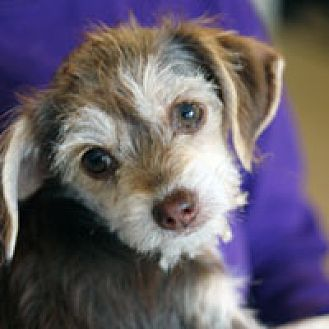 Terrier (Unknown Type, Medium) Mix Puppy for adoption in Pacific Grove, California - Gizmo