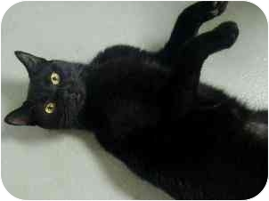 Domestic Shorthair Cat for adoption in Norwalk, Connecticut - Shaina