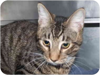 Domestic Shorthair Kitten for adoption in El Cajon, California - Speedy