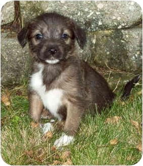 Australian Shepherd/Terrier (Unknown Type, Small) Mix Puppy for adoption in Sacramento, California - Chestnut pup