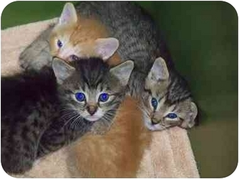 Domestic Shorthair Kitten for adoption in Haughton, Louisiana - Angie's kittens