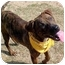 Photo 2 - Pit Bull Terrier Mix Dog for adoption in Huntington, New York - Kirby