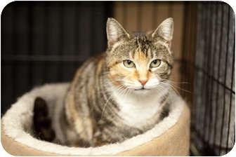 Domestic Shorthair Cat for adoption in Brooklyn, New York - Sally