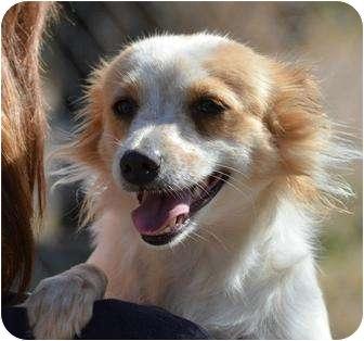 Brittany/Papillon Mix Dog for adoption in New Boston, New Hampshire - Trish