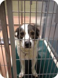 Basset Hound Mix Dog for adoption in Columbus, Georgia - Sammy 3F7B