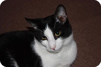 Domestic Shorthair Cat for adoption in Little Falls, New Jersey - Opie (LE)