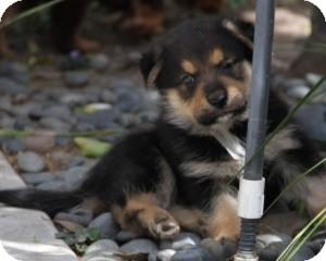 German Shepherd Dog Mix Puppy for adoption in Encino, California - Patter