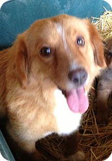 Australian Shepherd/Spaniel (Unknown Type) Mix Dog for adoption in Gainesville, Florida - Farrah