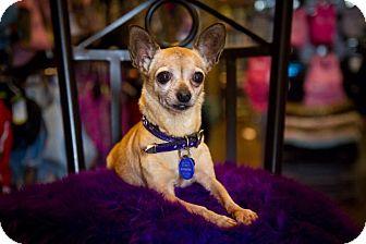 Chihuahua Dog for adoption in Orange, California - Lula
