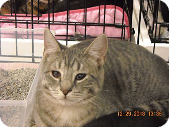 Domestic Shorthair Cat for adoption in Riverside, Rhode Island - Maxine