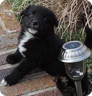Border Collie Mix Puppy for adoption in Croydon, New Hampshire - Glee arrives 1/23