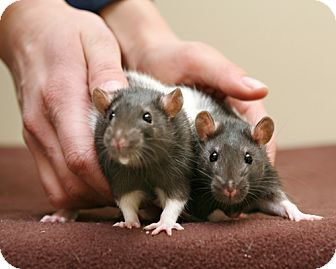 Rat for adoption in Bellingham, Washington - Trouble