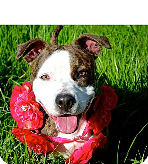 Boxer/Pit Bull Terrier Mix Dog for adoption in Sacramento, California - Zoey- adoption pending!!!!