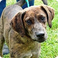 Adopt A Pet :: Champ - Providence, RI