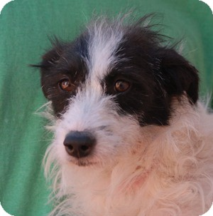 Terrier (Unknown Type, Small) Mix Puppy for adoption in Las Vegas, Nevada - Moonbeam