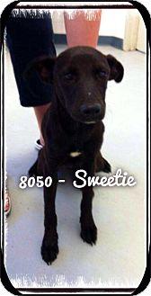 Labrador Retriever Mix Dog for adoption in Dillon, South Carolina - Sweetie