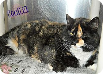 Domestic Shorthair Cat for adoption in Lewisburg, West Virginia - Cecilia