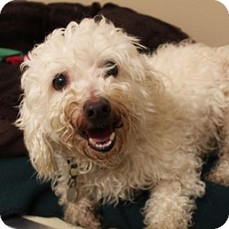Bichon Frise/Poodle (Standard) Mix Dog for adoption in Naperville, Illinois - Toby