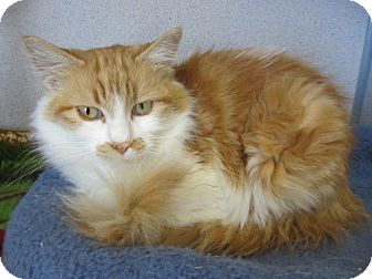 Domestic Longhair Cat for adoption in Gardnerville, Nevada - Creamsicle