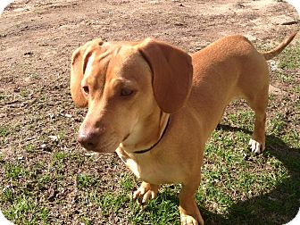 Dachshund/Staffordshire Bull Terrier Mix Dog for adoption in Oxford, Connecticut - Peanut