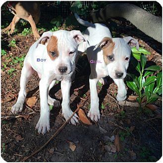 American Staffordshire Terrier Mix Puppy for adoption in Covington, Washington - Tonka