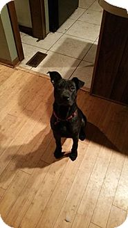 Shar Pei/Labrador Retriever Mix Dog for adoption in Shallotte, North Carolina - Bradley