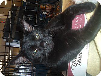 Domestic Shorthair Cat for adoption in Avon, Ohio - Ravi