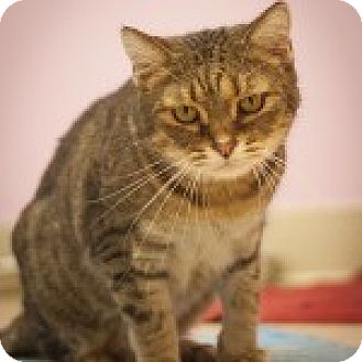 Domestic Shorthair Cat for adoption in Circleville, Ohio - Leo