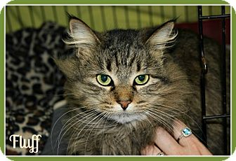 Maine Coon Cat for adoption in New Richmond,, Wisconsin - Fluff