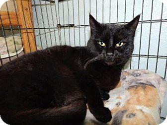 Domestic Shorthair Cat for adoption in Long Beach, Washington - Inky
