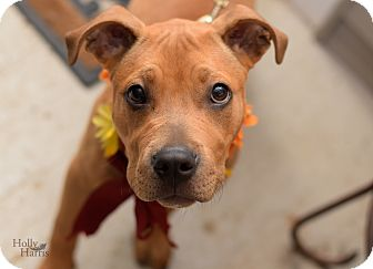 Staffordshire Bull Terrier/Boxer Mix Dog for adoption in Baton Rouge, Louisiana - Rosie