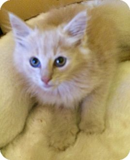Domestic Longhair Kitten for adoption in Greensburg, Pennsylvania - Oliver