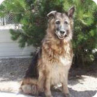 German Shepherd Dog/Australian Shepherd Mix Dog for adoption in Snohomish, Washington - Kora, cool & calm GSD sweetie!