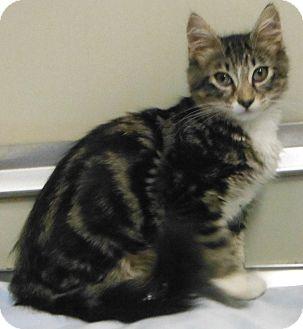 Domestic Mediumhair Kitten for adoption in Cedartown, Georgia - 33125491