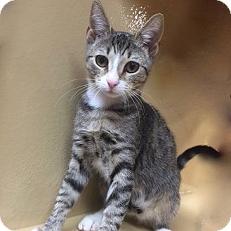 Domestic Shorthair Kitten for adoption in Long Beach, New York - Dixie