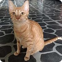 Adopt A Pet :: Punkin - Harrisonburg, VA
