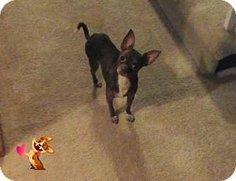 Chihuahua Mix Dog for adoption in Frankfort, Illinois - Little Bit