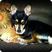 Miniature Pinscher/Dachshund Mix Dog for adoption in Tijeras, New Mexico - Lola