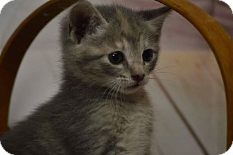 Calico Kitten for adoption in Rockwood, Tennessee - APRIL