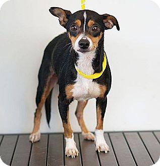 Basenji Dog for adoption in Berkeley, California - June Bug