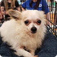 Adopt A Pet :: Apache - Mount Pleasant, SC