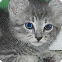 """Adopt A Pet :: Karena's Kitten """"Ollie"""" - Washington, DC"""