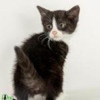 Domestic Mediumhair/Domestic Mediumhair Mix Cat for adoption in Savannah, Georgia - Waterford