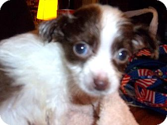 Chihuahua/Poodle (Miniature) Mix Puppy for adoption in Anderson, South Carolina - LuLu akd spot