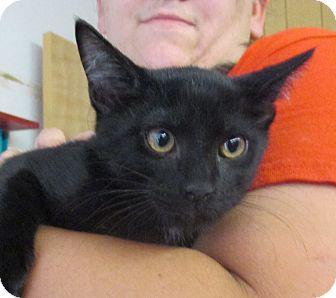 Domestic Shorthair Kitten for adoption in Reeds Spring, Missouri - Bogart