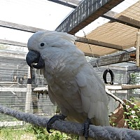 Cockatoo for adoption in Elizabeth, Colorado - Ozzy
