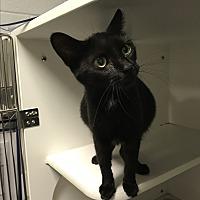 Adopt A Pet :: Pixie & 6 newborn kittens - Henderson, NC