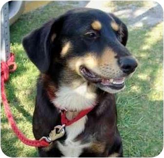 Hound (Unknown Type) Mix Puppy for adoption in Jacksonville, North Carolina - Rocky