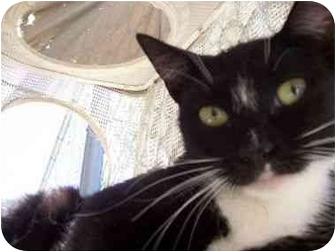 Domestic Shorthair Cat for adoption in El Cajon, California - Mama Wonka