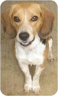 Beagle Mix Dog for adoption in Lake Odessa, Michigan - Tracker